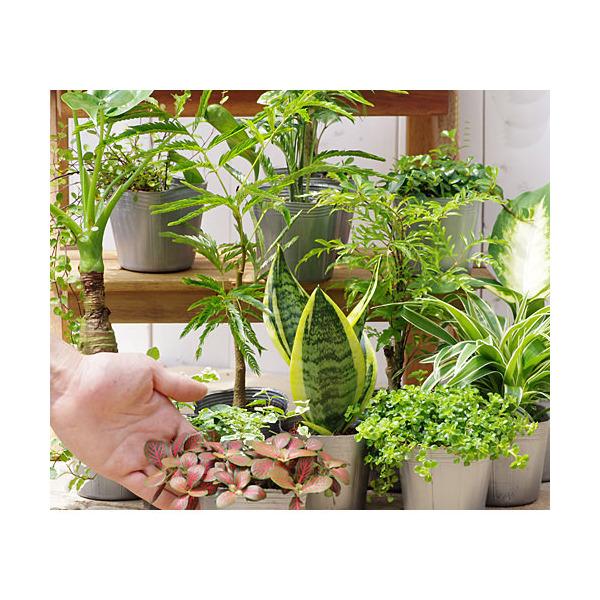 (観葉植物)おまかせ観葉植物 3号(5ポットセット)