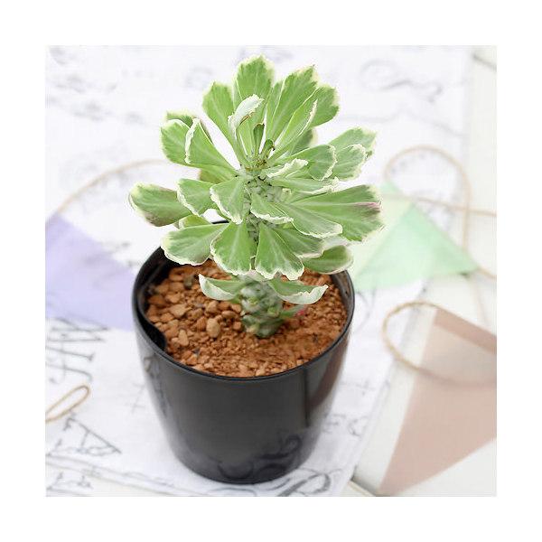 (観葉植物)モナデニウム デカルデアエ サンセットホワイトバーチ 3号(1鉢)