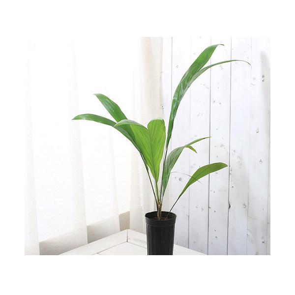 (観葉植物)ヤシ 南米アブラヤシ MLサイズ 3.5号ロング(1ポット) 沖縄別途送料