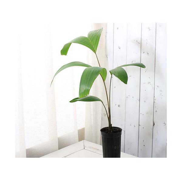(観葉植物)ヤシ カーペンタリア アクミナータ MLサイズ 3.5号ロング(1ポット) 沖縄別途送料