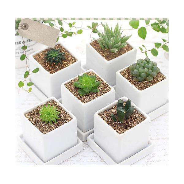 (観葉植物)ハオルチア 品種おまかせ 陶器鉢植え ニューダイスS WH(1鉢) 受け皿付き