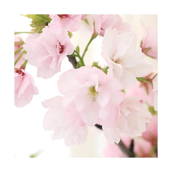 (盆栽)山野草盆栽 常滑焼鉢植え サクラ 旭山(1鉢) 受け皿付き