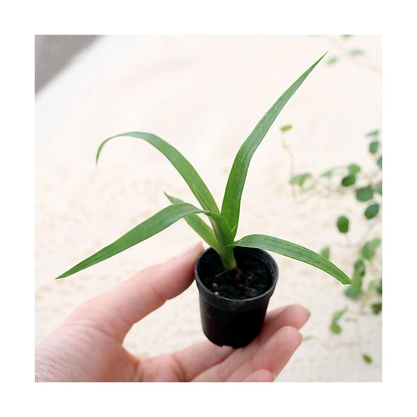 (観葉植物)ビバリウムプランツ ドラセナ カンボジアーナ 4cmポット入り(1ポット)