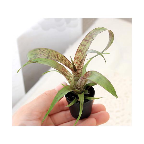 (観葉植物)ビバリウムプランツ フリーセア レッドチェスナット 4cmポット入り(1ポット)