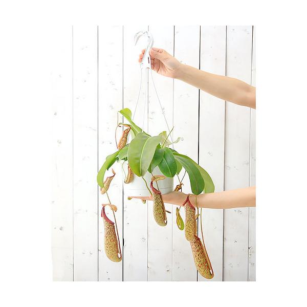 (食虫植物)ウツボカズラ ネペンテス ミランダ 6号(1鉢)(吊り鉢タイプ) 沖縄別途送料