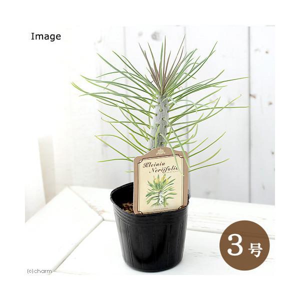 (観葉植物)セネシオ クレイニア(モンキーツリー) 3号(1ポット) 北海道冬期発送不可