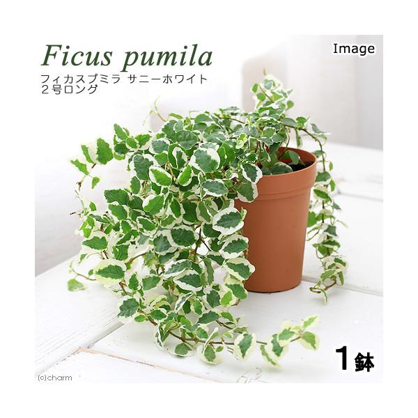 (観葉植物)フィカス プミラ サニーホワイト 2号ロング(1鉢)