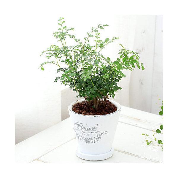(観葉植物)シマトネリコ 陶器鉢植え フレグランドラウンドポットXS(1鉢) 受け皿付き 北海道冬季発送不可