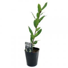 (観葉植物)ゲッケイジュ(月桂樹) オーレア 3号(1ポット) 家庭菜園
