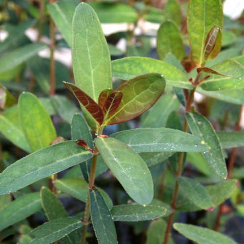 (ビオトープ)水辺植物 ミズオトギリソウ 3号(3ポット) 湿生植物