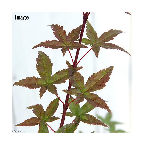 (盆栽)モミジ デショウジョウ(出猩々) 5~6号(1ポット)(同梱不可)