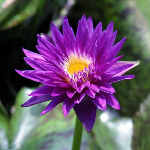 (ビオトープ/睡蓮)熱帯性睡蓮(スイレン)(青紫)プラムクレイジー Plum Crazy (1ポット) 沖縄別途送料