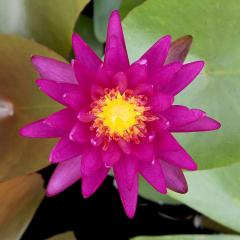 (ビオトープ)睡蓮 温帯性睡蓮(スイレン)(紫)パープルファンタジー 特許番号#PP26530(1ポット) 沖縄別途送料