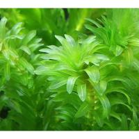 (水草)メダカ・金魚藻 国産 無農薬アナカリス(10本) 北海道航空便要保温