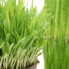 (観葉植物)猫草 やわらか生牧草お試し3種セット(ペットグラス・ライグラス・スーダングラス)(無農薬) 猫草