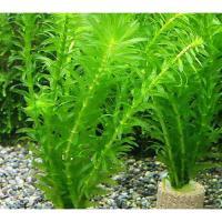(水草)メダカ・金魚藻 ライフマルチ(茶) アナカリス(輸入品)(2個)