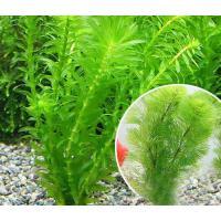 (水草)メダカ・金魚藻 お一人様3点限り ライフマルチ(茶) カボンバ(3個)+アナカリス(輸入品)(1個) 北海道航空便要保温
