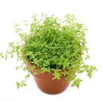 (水草)ミニ素焼き鉢 南米産ミズハコベ(水上葉)(無農薬)(1鉢)