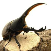 (昆虫)ヘラクレス・リッキー コロンビア産 幼虫(初~2令)(1匹) ヘラクレスオオカブトムシ 北海道航空便要保温