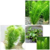 (水草)ライフマルチ(茶) メダカ・金魚藻セット(1セット)+ホテイ草(1株)+マツモ(3本)