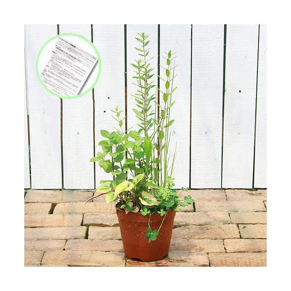 (ビオトープ)水辺植物 インスタント・ビオトープ(寄せ植え)(1鉢)説明書付