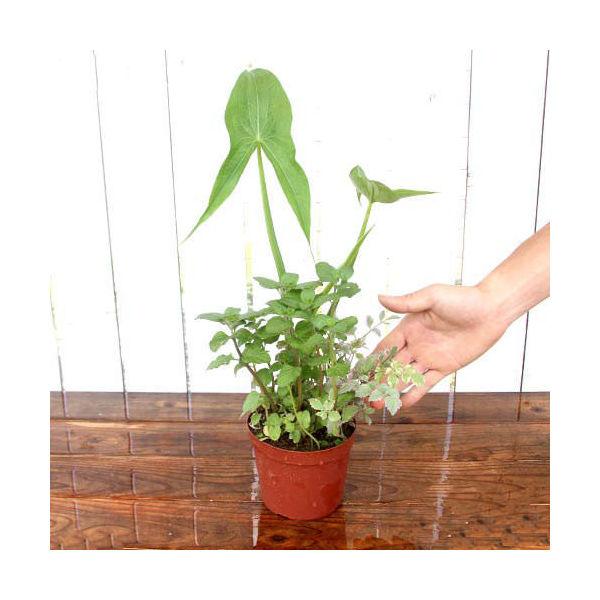 (ビオトープ)水辺植物 メダカの鉢にも入れられる水辺植物! ミニインスタント・ビオトープ 3.5号(1鉢)