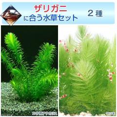 (水草)ザリガニに合う水草セット 2種(無農薬)(1セット) ザリガニ