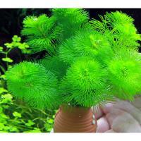 (水草)メダカ・金魚藻 タコツボミニ カボンバ(1個) 北海道航空便要保温