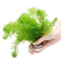 (水草)メダカ・金魚藻 カボンバ 鉛巻き(7~10本)(1個)