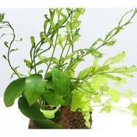 (水草)Plants Arrangement ザ ボンサイ Ver.14(1個)