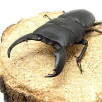 (昆虫)スマトラヒラタクワガタ スマトラ アチェ産 成虫(WD)85~89mm(1ペア) 北海道・九州航空便要保温