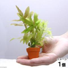 (水草)プチ素焼き鉢 入門種ミックス(水中葉)(1個)