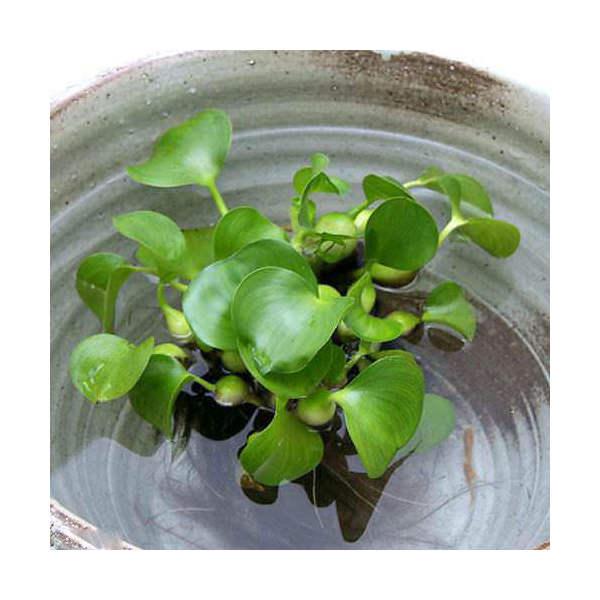 (ビオトープ/水辺植物)ホテイ草(ホテイアオイ)(10株) 金魚 メダカ