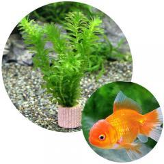 (金魚 水草)ライフマルチ(茶) メダカ・金魚藻セット+よりなしオランダ 素赤~更紗(1匹)
