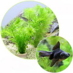(金魚 水草)ライフマルチ(茶) メダカ・金魚藻セット+黒出目金(1匹) 北海道航空便要保温
