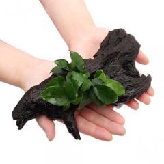 (水草)アヌビアスナナ リンクルリーフ 流木付 Mサイズ(1本)(約20cm)
