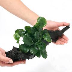 (水草)アヌビアス バルテリー ラウンドリーフ 流木付 Lサイズ(1本)(約25cm)