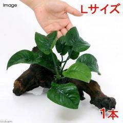(水草)アヌビアス バルテリー バタフライ 流木付 Lサイズ(1本)(約25cm)