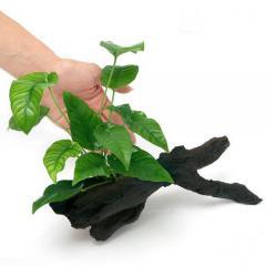 (水草)アヌビアス バルテリー ストライプ 流木付 Mサイズ(1本)(約20cm)