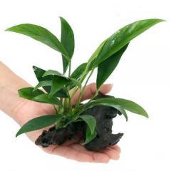 (水草)アヌビアス コンゲンシス 流木付 Sサイズ(1本)(約15cm)