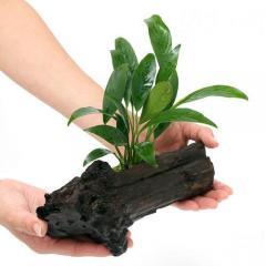(水草)アヌビアス コンゲンシス 流木付 Mサイズ(1本)(約20cm)