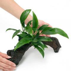 (水草)アヌビアス コンゲンシス 流木付 Lサイズ(1本)(約25cm)