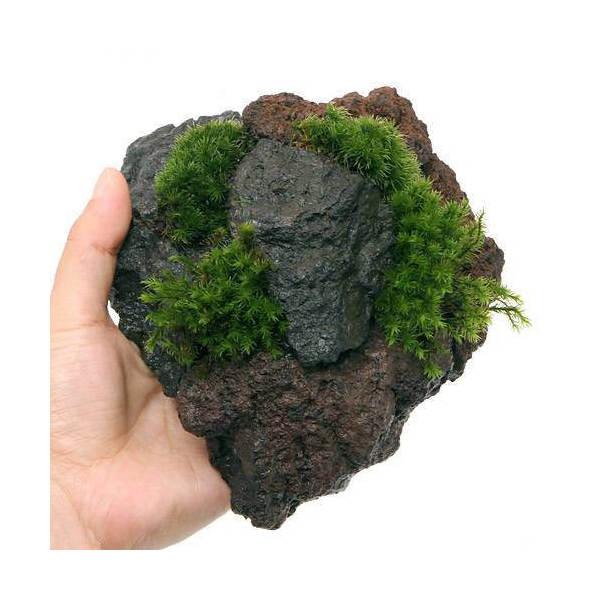 (観葉植物/苔)テラ向け 苔2種植え富士ノ溶岩石(1個)