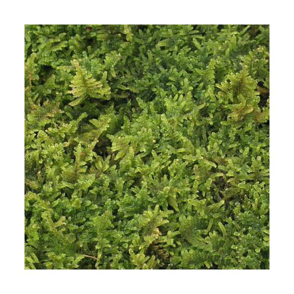(観葉植物/苔)半トレー ハイゴケ トレー1枚分 36×27cm