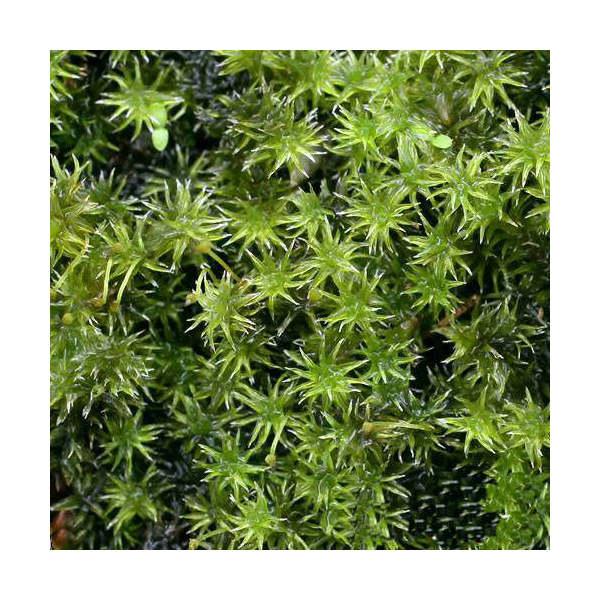 (観葉植物/苔)半トレー スナゴケ トレー1枚分 36×27cm