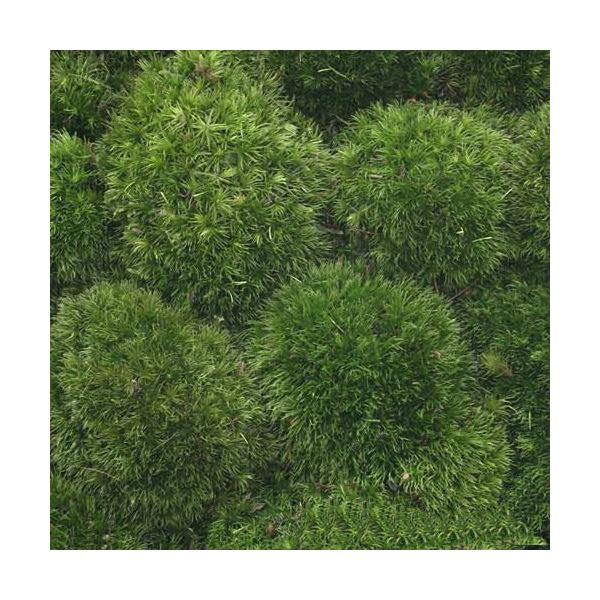 (観葉植物/苔)半トレー ホソバオキナゴケ トレー1枚分 36×27cm