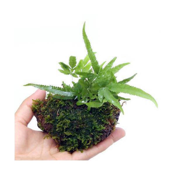 (盆栽)おまかせ 溶岩石苔玉(1個) 観葉植物 コケ玉