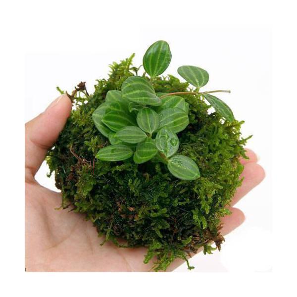 (盆栽)溶岩石苔玉 Ver.ミニ観葉(3個) 観葉植物 コケ玉