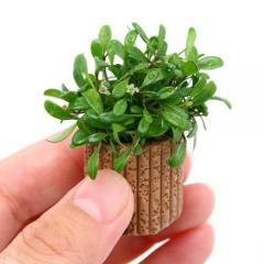 (水草)ライフマルチ(茶) グロッソスティグマ(水上葉)(無農薬)(1個)