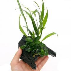 (水草)アヌビアスナナ プチ&ミクロソリウム プテロプス ソードリーフ付 流木 SSサイズ(1個)(約10cm)